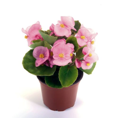 Begonia Semperflorens Green Leaf Pink